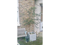 2 Olive trees in Square Pot