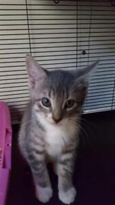 """Baby Male Cat - Domestic Short Hair: """"Johnny"""""""