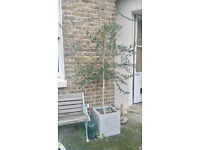 TWO OLIVE TREES IN LOVELY square POTS collect from NW3