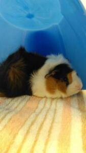 """Young Male Small & Furry - Guinea Pig: """"Robin"""""""