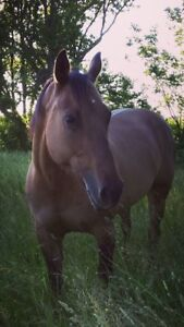 AQHA Mare for sale - Broodmare or Trail horse