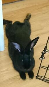 "Adult Male Rabbit - New Zealand: ""Licorice"""