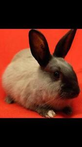 "Young Female Rabbit - Dwarf: ""Thumbelina"" Downtown-West End Greater Vancouver Area image 3"