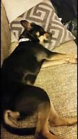 """Young Female Dog - Rottweiler-Boston Terrier: """"Toby"""""""