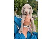 Stunning KC Silver Weimaraner puppies top bloodlines