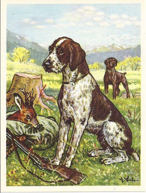 Rare 1952 Dog Art Austria Tobacco Company Trade Card GERMAN WIREHAIRED POINTER b