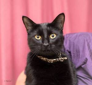 AK0555 : Josh - CAT FOR ADOPTION - Vet Work Included Canning Vale Canning Area Preview