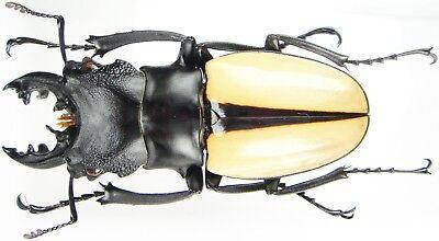 Vietnam Odontolabis siva siva Insect Male 71~74mm ....!!