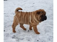 Shar Pei Puppies There Mother is Hungarian Champion