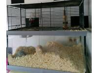 Gerbils and cage