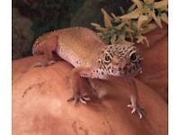 Good Home Wanted Female Gecko
