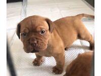 Beautiful Dogue de Bordeaux Puppies For sale