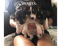 3 beautiful tri Jack Russell Puppies