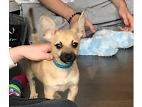 Chihuahua X Puppy for Sale