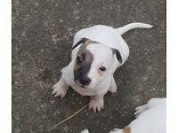 3 male Staffy x Jack Russell puppies