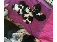 Border collies puppies
