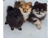 Top quality male pomeranian puppy