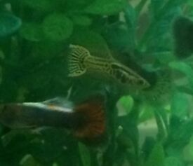 Guppy fry 10 for £5