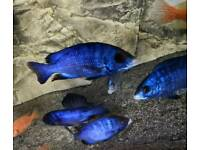 Placidochromis Mdoka''White Lips""