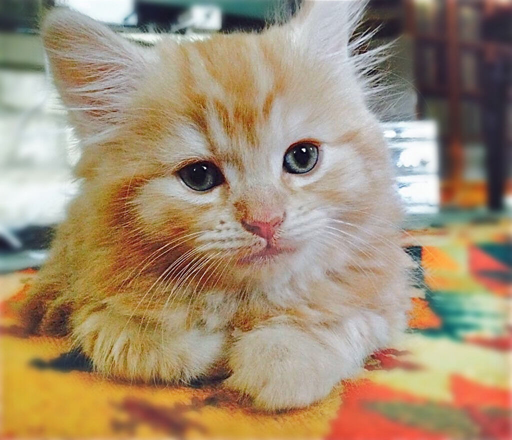 20  Best Of Fluffy Kittens for Sale