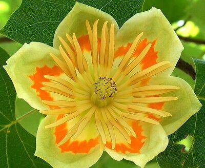 50 Samen Tulpenbaum (Liriodendron tulipifera), winterhart, Blüten wie Tulpen