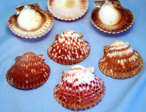 "6 Large Calico Scallops 2-2 1/2"" Shell Seashells Nautical Craft Beach Wedding"