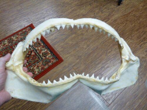 "sj30-100-6) 16"" BULL SHARK jaw teeth taxidermy love sharks ichthyology science"