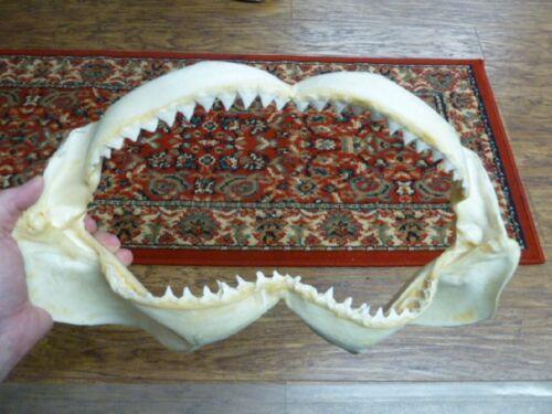 "sj30-100-7) 16"" BULL SHARK jaw teeth taxidermy love sharks ichthyology science"