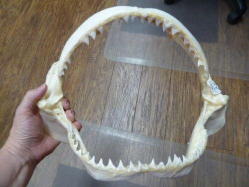 "(sj30-125) 13-3/4"" BULL SHARK jaw with STINGRAY ray barb teeth study leucas"