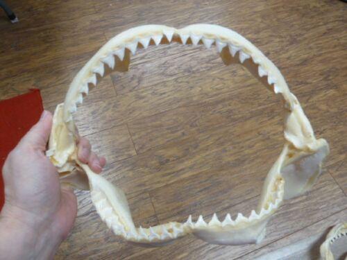 """(sj30-200-C) 11"""" BULL SHARK B grade jaw jaws teeth taxidermy science love sharks"""