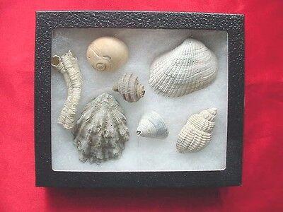 (F-395) 7 Fossil sea shells shark's eye ribbed arch set specimens + field guide