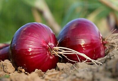 Red Grano Onion - 300 Seeds - Heirloom, Non-GMO Short Day , USA-SAME-DAY-SHIP !
