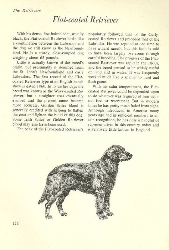 """The Flat Coated Retriever - Vintage Dog Art Print - Matted """"G"""""""