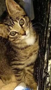 "Baby Female Cat - Tabby (Gray): ""Female, @Kincardine Pet Valu"""
