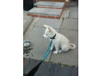 Beautiful Pure White Huskita - Huski Cross Akita Puppy 9 Weeks Old