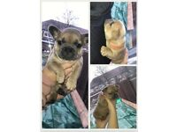 French bulldog puppies forsale