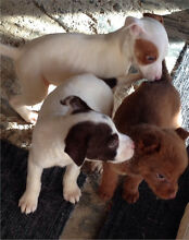 Cute Puppies Royalla Queanbeyan Area Preview
