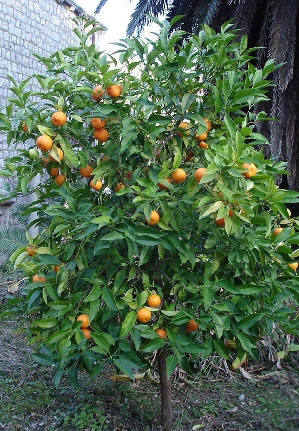 citrus tree type - Kaffir Lime Tree