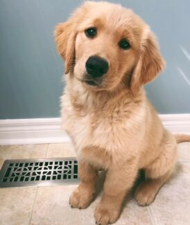 SEARCHING for Golden Retriever puppy