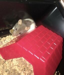 rats to rehome
