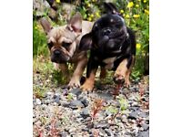 Top quality French bulldogs