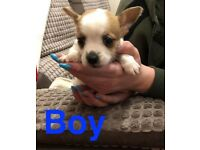 Jackrussel cross Chihuahua/ Pomeranian