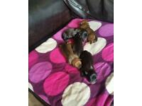 Staff puppy for sale