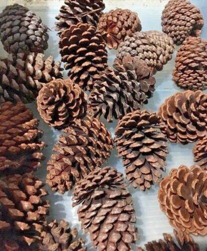15 Pine Cones 3-4 Inches Natural North Carolina Long Leaf Pine