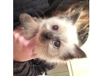 Missing Ragdoll Kitten !!! £500 Reward Offered !