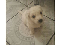 BICHON FRISE PUPPYS FOR SALE: ONLY ONE BOY LEFT