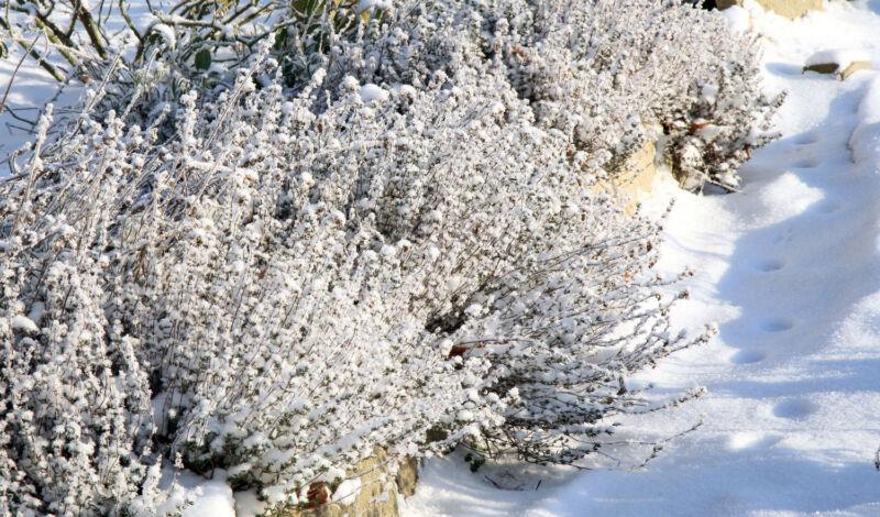 Robuste Kräuter wie Rosmarin, Thymian und Lavendel kommen auch ohne Abdeckung durch den Winter. (© Thinkstock)
