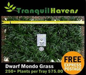 Trays of Dwarf Mondo Grass - 250+ Plants $75.00 Delivered Free Brisbane City Brisbane North West Preview