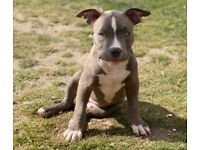 American bully ouppy, 4 month old