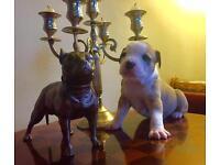MorleyHaus Tri Puppies